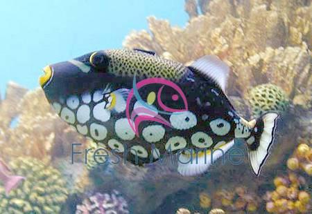 Freshmarine blog cucumber red black holothuria for Edible hawaiian fish