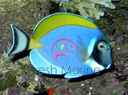 FreshMarine Blog: Fiji Bicolor Foxface Rabbitfish - Lo ...